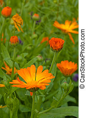 Marigolds in nature