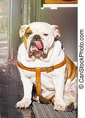 English bulldog sitting in the street