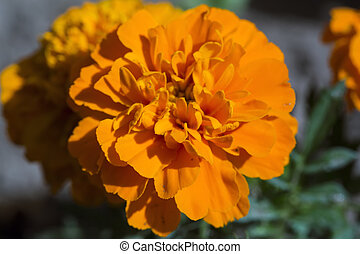 Blooming  Tagetes Patula on natural green background