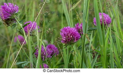 Clover - Red clover flowers swing in the wind