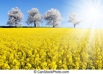 field of rapeseed, canola or colza - SONY DSC