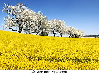 Rapeseed, canola or colza and alley of cherry trees -...