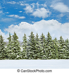 field covered with snow and spruce - Beautiful winter...