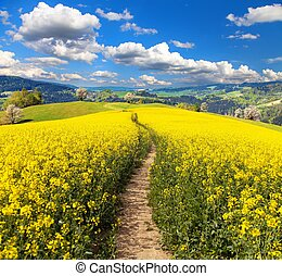 Field of rapeseed, canola or colza and path way - Field of...