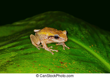 coqui frog on green leaf,coqui is a tree frog native to the...