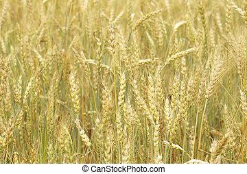 Grain field, closeup nature background