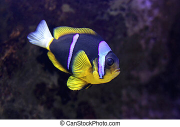 Clark Anemonefish - Two Band Clark Anemonefish Amphiprion...