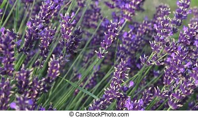 Lavender flower on the field. Beautiful lavender flowers...