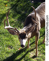 Up for a Challenge? - Wild buck staking out a...