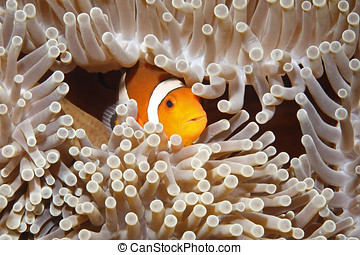 Clownfish - A Clown Anemonefish sheltering among the...
