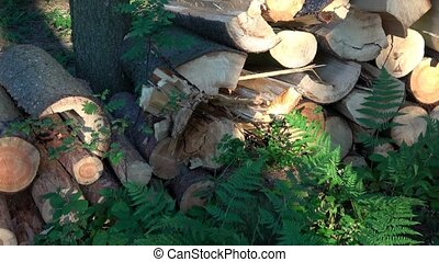 Wooden logs of pine woods in the forest. Freshly chopped...