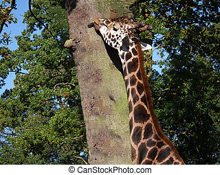 Giraffe licking the bark on tree - A giraffe with tongue out...