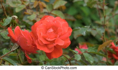 Beautiful red rose with water drops - Big beautiful red rose...