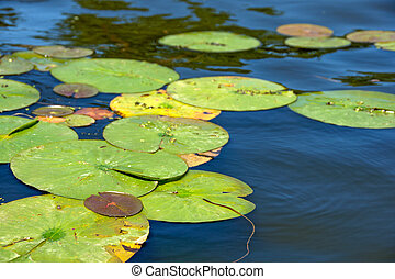 lily pads in lake water - floating large lily pads in lake...