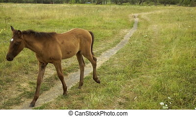 Brown foal is walking on a footpath in a field