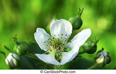 Dewberry flower cluster Rubus - White blackberry flower...