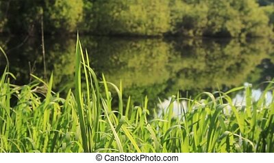 Coastal reed on the shore of a forest lake