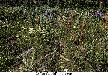 Wildflowers in Wyoming Wind River Range