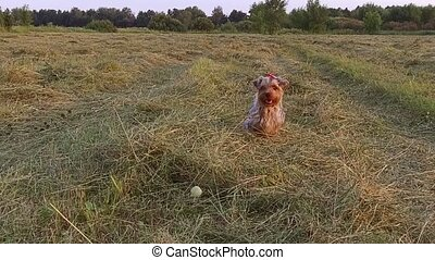 Yorkshire Terrier the dog pet runs along the grass steadicam...
