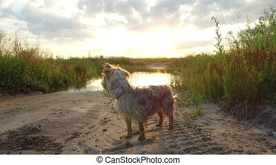 Yorkshire Terrier pet Dog at sunset by the lake in the...