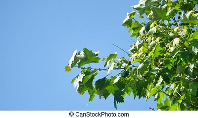 branch with green leaf maple on background sky