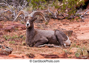 Desert Big Horn Ram Sheep in Zion National Park