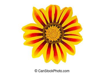 Gerbera flower on white background. Top view