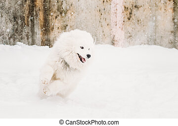 Young White Samoyed Dog Bjelkier, Smiley, Sammy Playing...