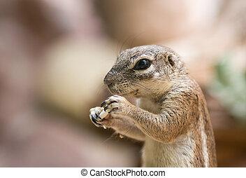 Cape Ground Squirrel - Portrait of cute Cape ground squirrel...