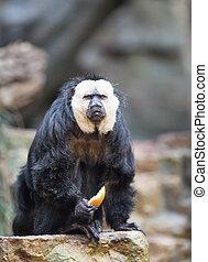 White-faced Saki in zoo - White-faced Saki holding food in...