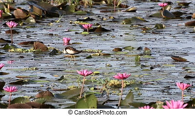 Beautiful wild bird (Pheasant-tailed Jacana ) in the lake of...
