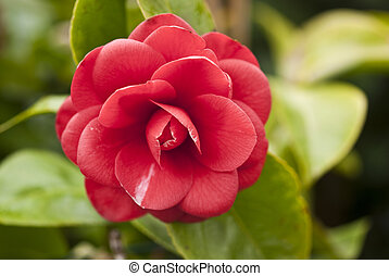 Red Camelia, Italy - Red Camelia in a Tuscan Garden, Italy