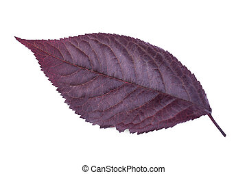 Purple plum leaf isolated on a white background. Red leaves...