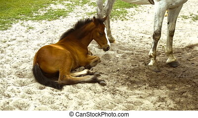 small foal lies in the sand near the white horse - beautiful...