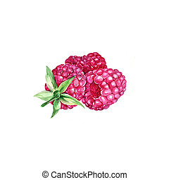 Raspberry - Watercolor Raspberry. Hand Drawn Illustration...
