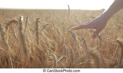 Female hand touching wheat spikes at sunset light - Closeup...