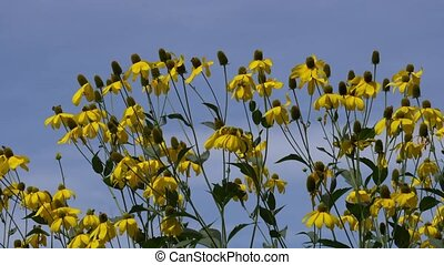 yellow rudbeckia flower with bee in the garden