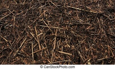 anthill in a summer forest - The turbulent life of an...