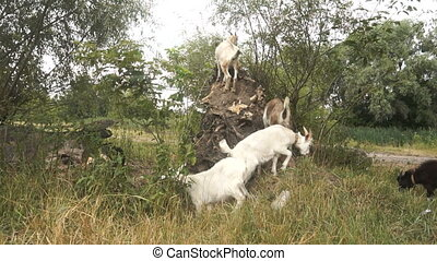 little white goats eat grass and leaves
