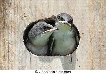 Baby Birds In a Bird House - Pair of hungry Baby Tree...