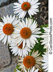 Summer flowers, Coneflower White view from above
