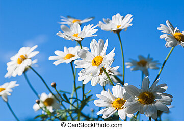 Field chamomile flower against the blue sky