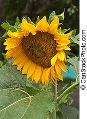 Well-groomed spring garden - Bees on a flower of a sunflower
