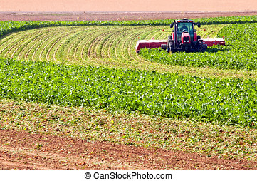 Farmer cutting beet tops - Farmer harvesting the green tops...