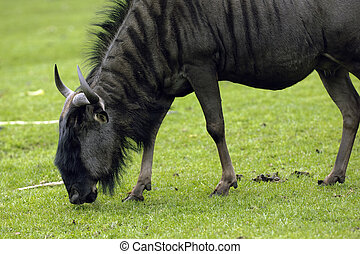 Gnu eating grass - A gnou in the sun eating grass
