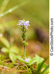 A beautiful purple blue flower on a forest floor after the...