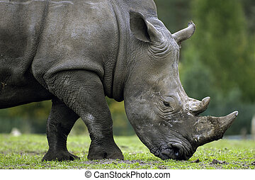 Huge Rhino - A huge rhinoceros with enormous horns