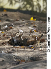 Suricate playing dead - A suricate lying on the ground...