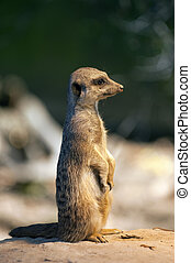 Suricate - A suricate standing on a rock watching out for...