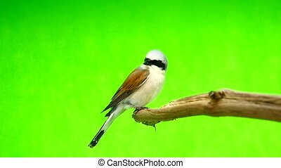 Red-backed Shrike (Lanius collurio) isolated on a green...